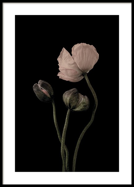 Poppies on Black No2 Juliste ryhmässä Julisteet  / Koot / 50x70 cm @ Desenio AB (11175)
